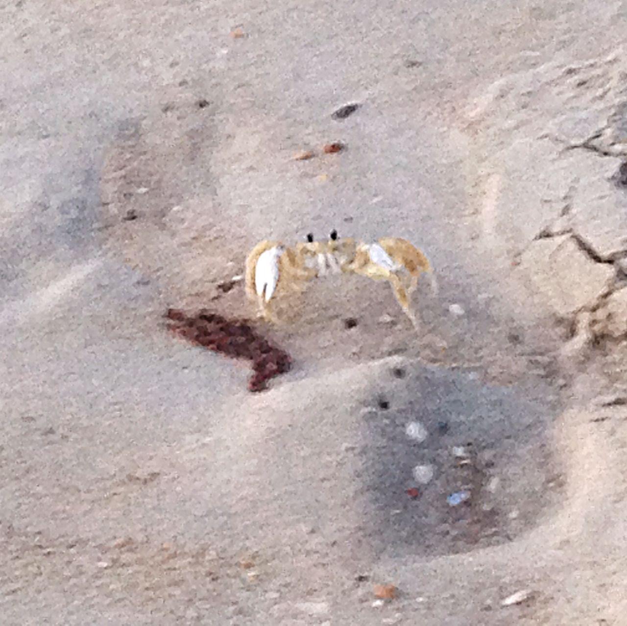 Ghost crab. OBX14 Beach Crab Animals