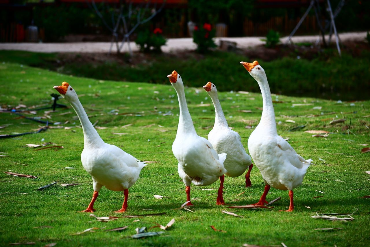 bird, animal themes, animals in the wild, white color, animal wildlife, nature, field, grass, day, goose, lake, outdoors, no people, beauty in nature, togetherness, swan, water, close-up