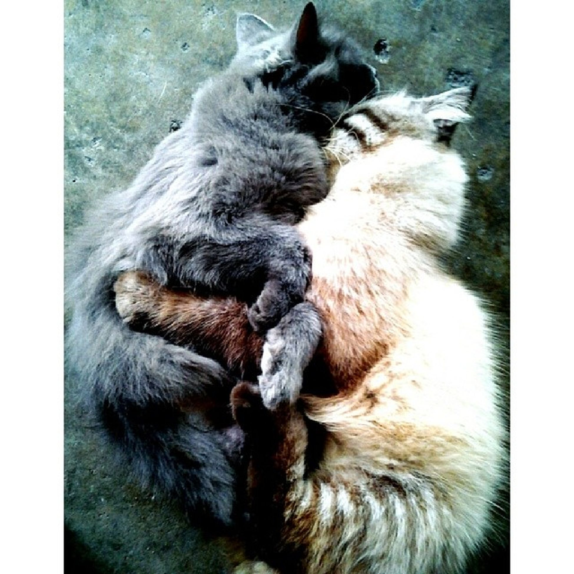 Didi & Diandra. The making of LOVE ^_^ Can you name the position? LOL Aristacats Kucing Mengawan Love lovecats igcats igclubcats igmalaysian catsoftheday catsofinstagram potd meow