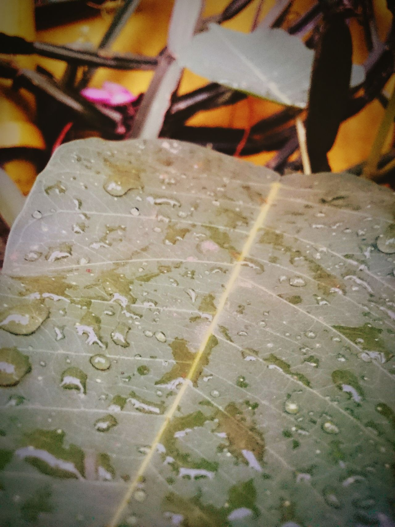 First Raindrops First Rain Of April Leaf Vein Leafmania Leafs Photography Leafy Goodness Leafpeeping Leafs Colors