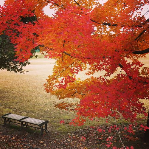 FormosaSweetgum Autumn Change Leaf Nature Tree Maple Tree Be. Ready. Beauty In Nature Park - Man Made Space Outdoors No People Red