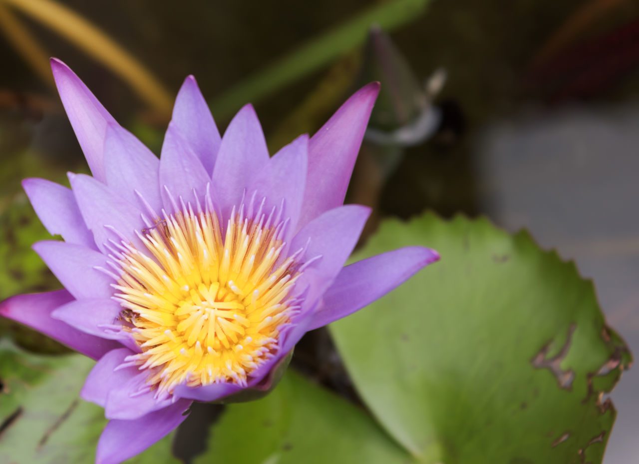 Close-Up Of Lotus Water Lily Blooming Outdoors
