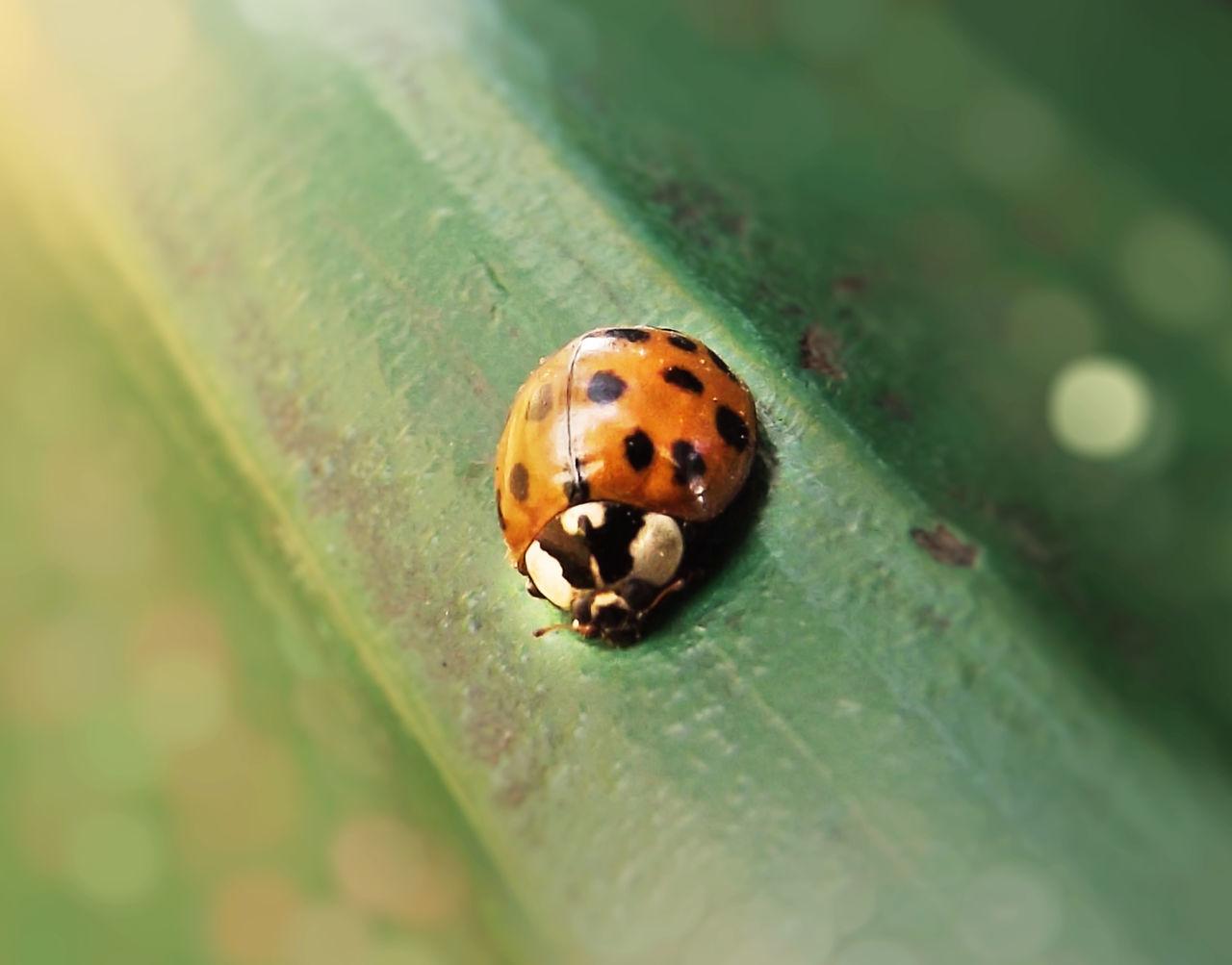 Beetle Bokeh Close-up Closeupshot Insect Ladybug Ladybug Ladybugmacro Ladybugphoto Ladybugs Ladybug🐞