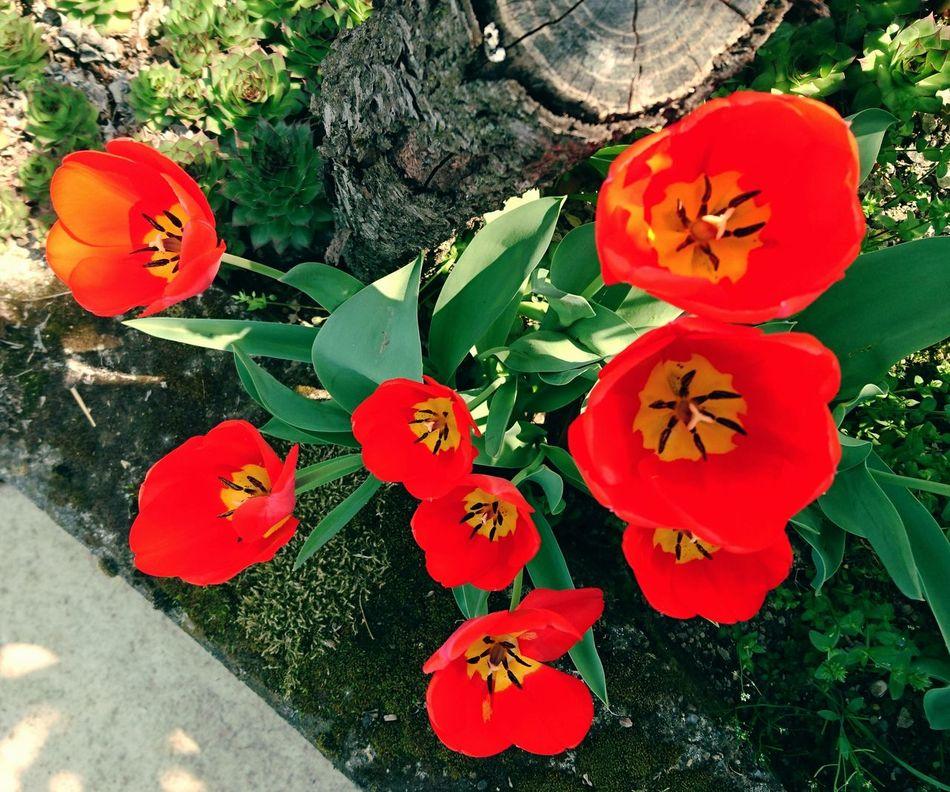 In the Garden . Marimekko ? Flower Growth Beauty In Nature Red Nature Plant Flower Head Close-up Outdoors Spring Red Flowers Tulips Tulips Flowers Nature Spring Has Arrived Colors Spring Into Spring Freshness Green
