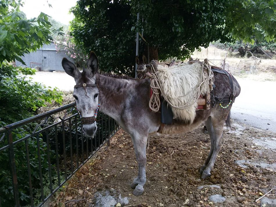 Donkey No People Donkey Rides Donkey In Greece Greece World Heritage Site By UNESCO Lesbos Lesbos Island