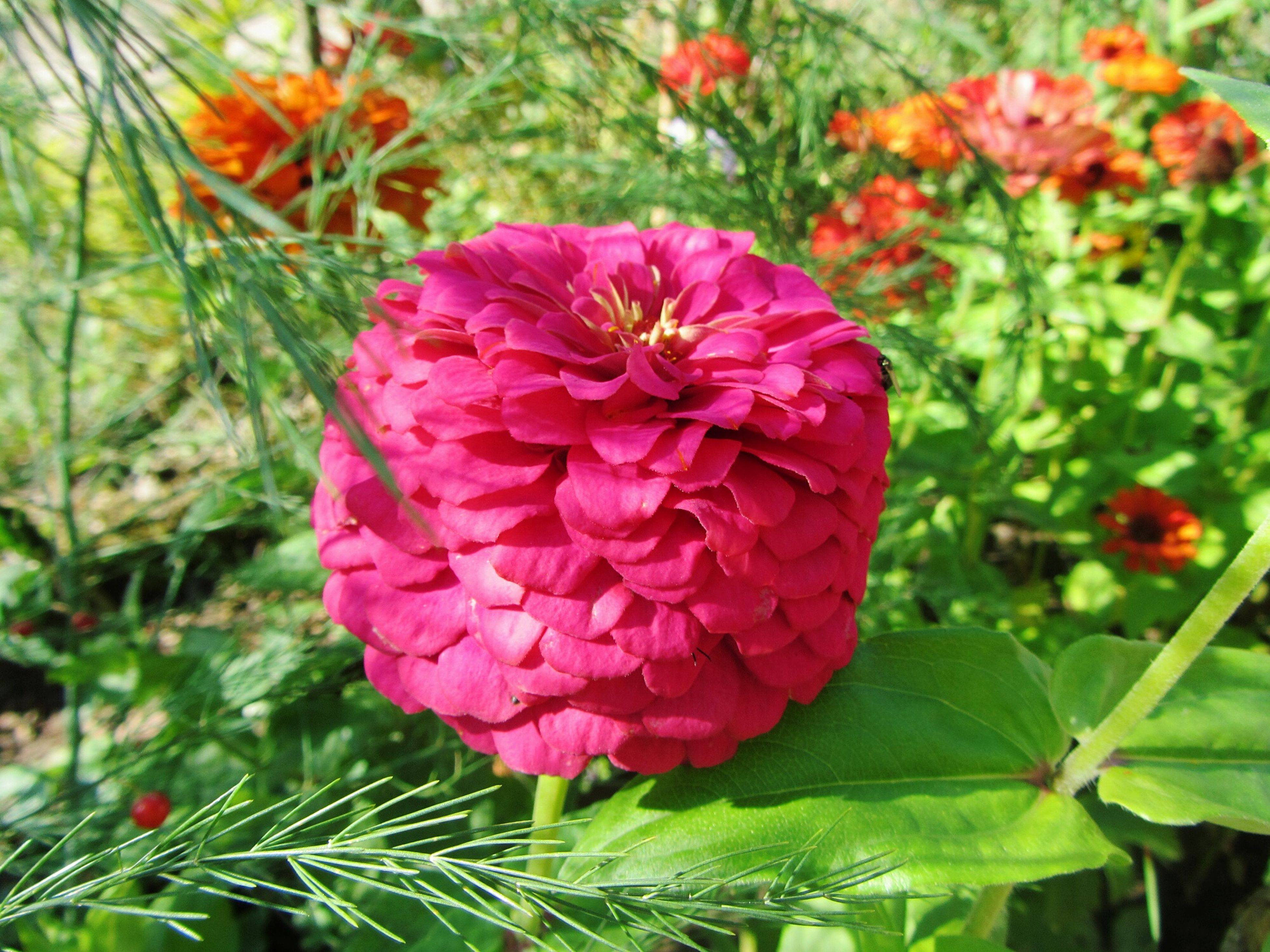 flower, freshness, growth, fragility, beauty in nature, petal, plant, nature, flower head, close-up, blooming, pink color, focus on foreground, leaf, green color, in bloom, red, blossom, bud, botany