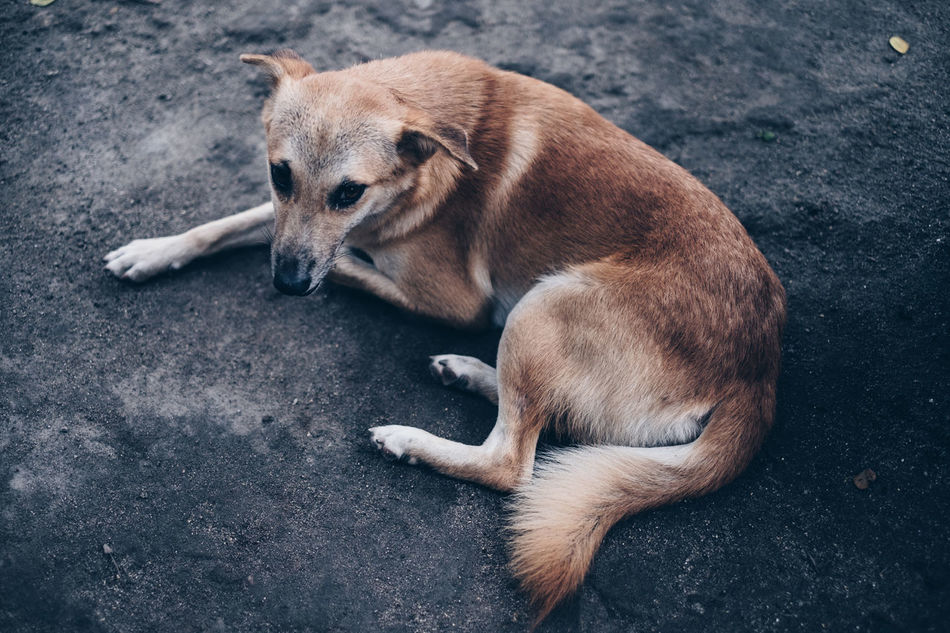 Animal Themes Breed Brown Close-up Day Dog Domestic Animals Fluffy Friend Fur Ground High Angle View Mammal Nature One Animal Outdoors Petals Pets Relaxation Resting Road
