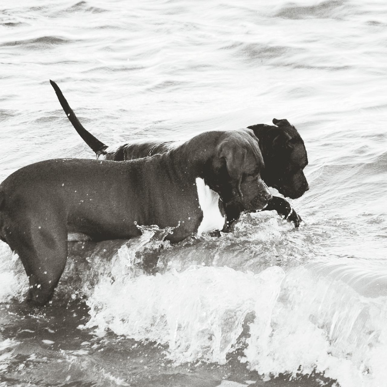 Surcando las olas Water Beach Wave Real People Animal Travel Day Summer Happiness Vacations Dog Love Pitbull Dogmodels Pitbullsofficial Pitbullsofinstagram Surf Pitbullove