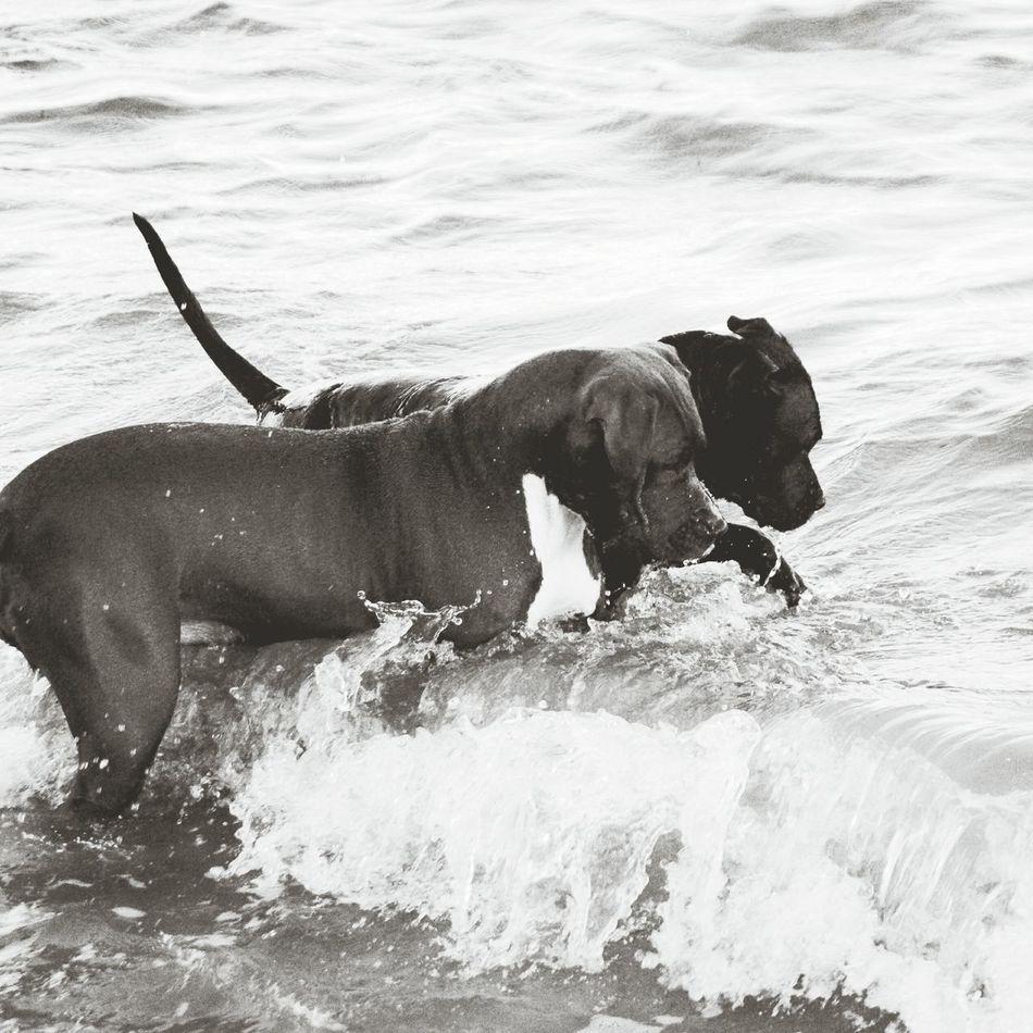 Surcando las olas Water Beach Wave Real People Animal Travel Day Summer Happiness Vacations Dog Love Pitbull Dogmodels Pitbullsofficial Pitbullsofinstagram Surf Pitbullove