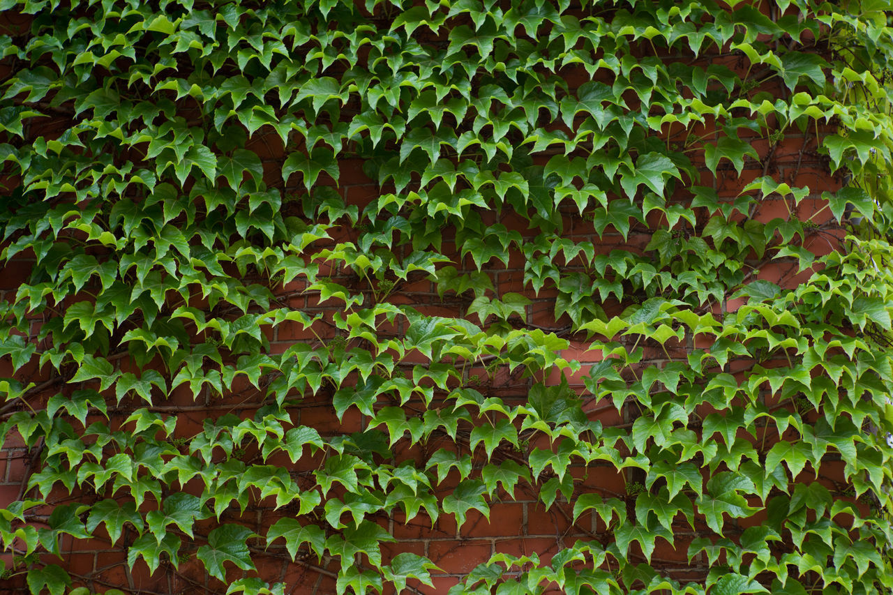 Backgrounds Close-up Day Full Frame Green Color Growth Ivy Leaf Nature No People Outdoors Plant