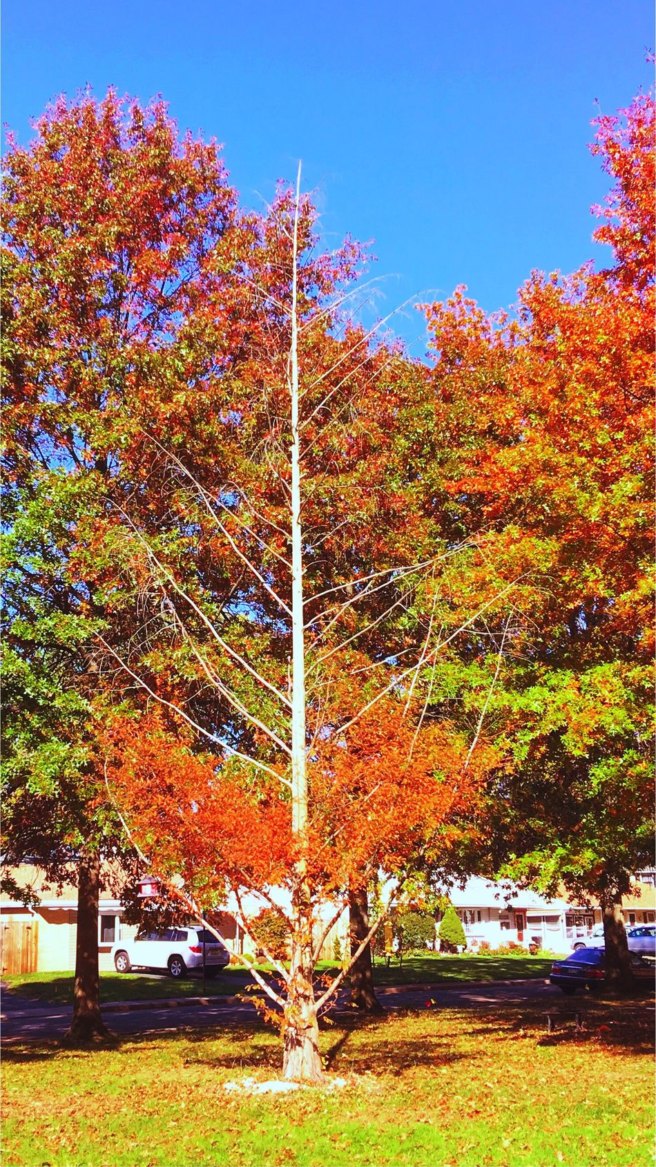 Trees still full of color except for one Tree Barrentree Nature Autumn Beauty In Nature Growth No People Change Outdoors Sky Day Scenics Autumn Woods Relaxedand Happy Taking Pictures Iphonephotography Fall Colors Leaf Tranquility Forest