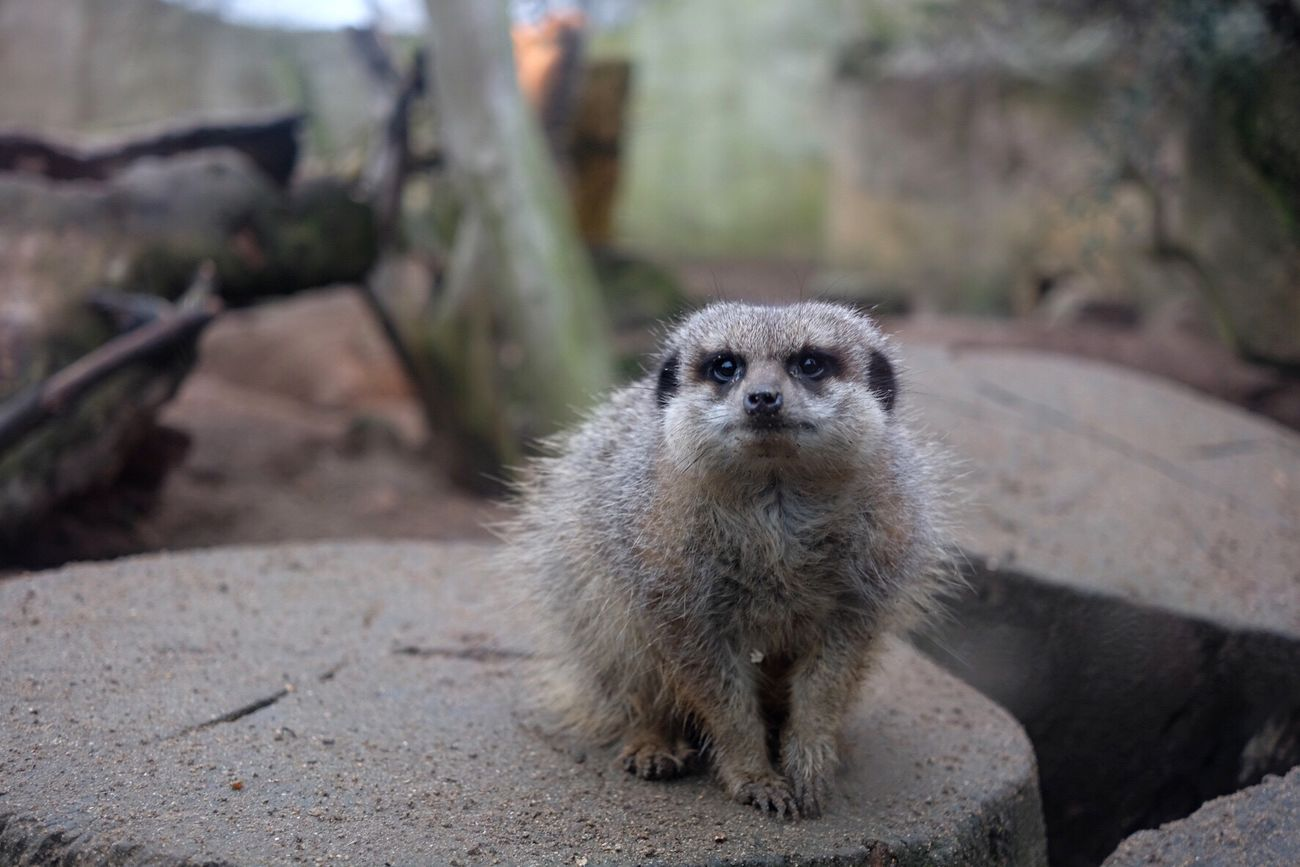 Animal Themes One Animal Day Outdoors No People Close-up Nature Meerkat Drusillas Zoo