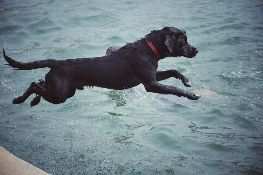 Airborne... Dog Pets Domestic Animals Mammal Animal Themes Water One Animal Day Waterfront Outdoors No People Black Labrador Nature Playing Sea St Mawes Harbour Sea Swimming Kernow Cornwall Uk Pet Portraits