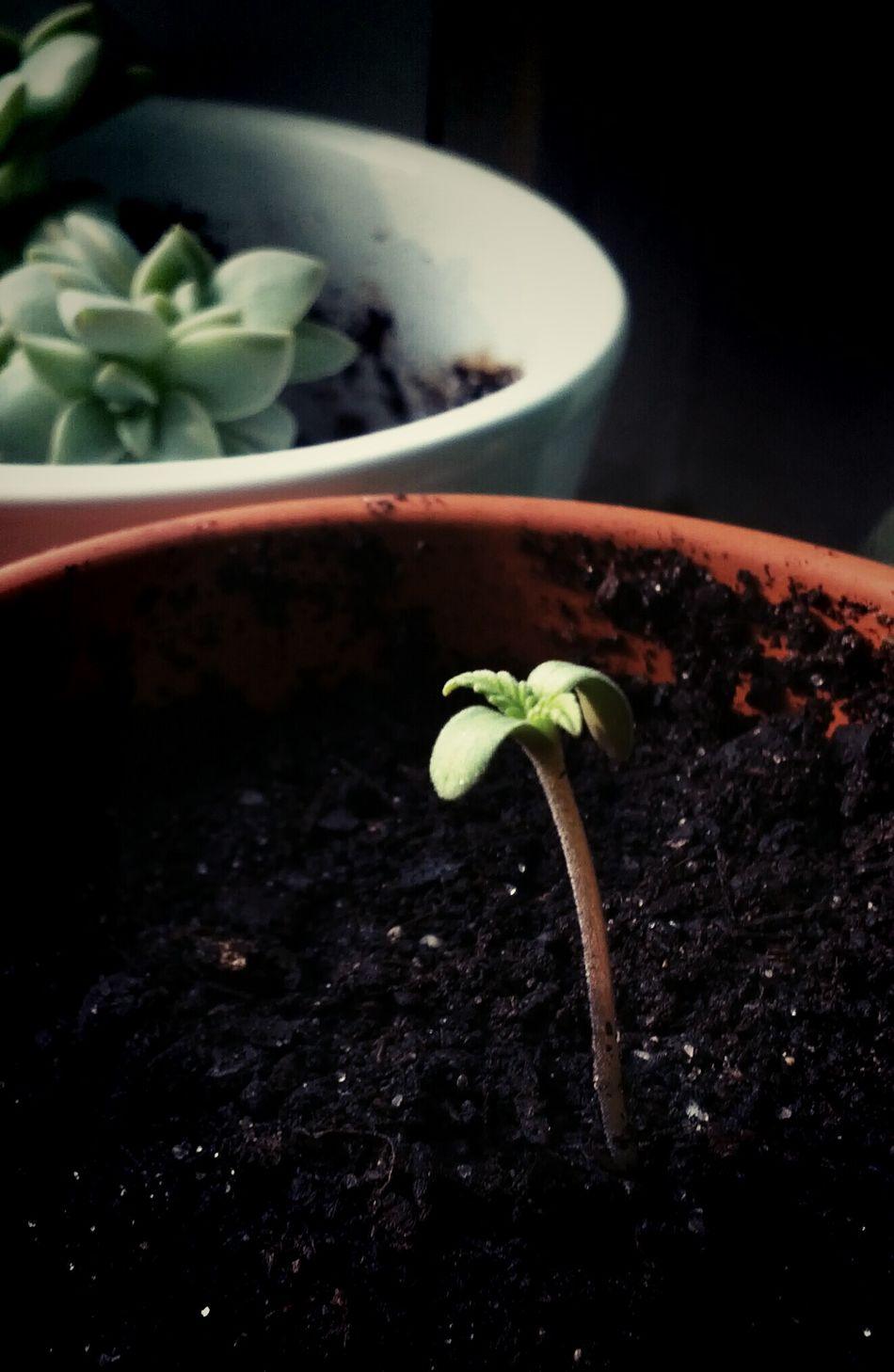 Watching Plants Grow Growing Plants Marijuana Grow Slow