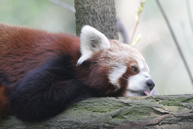 Chilling Close-up Mammal One Animal Outdoors Red Panda Relaxing Resting Tired Tounge Out  Zoo