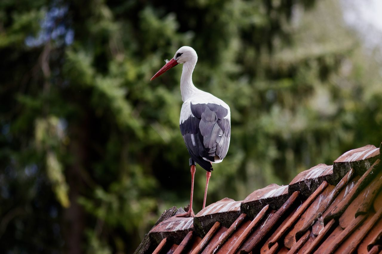 Beautiful stork Animal Animal Themes Animal Wildlife Animals In The Wild Baby Beak Beauty Beauty In Nature Bird Day Focus On Foreground Forest Nature No People One Animal Outdoors Perching Roof Rooftop Stork White Stork