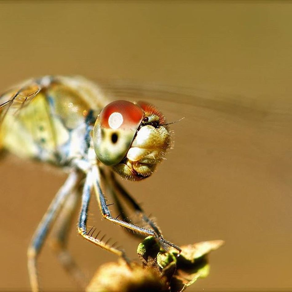 Lead_me_to_oblivion Dragonfly Instect Nature Photography Nikon Outdoors 'wings Macro Closeup