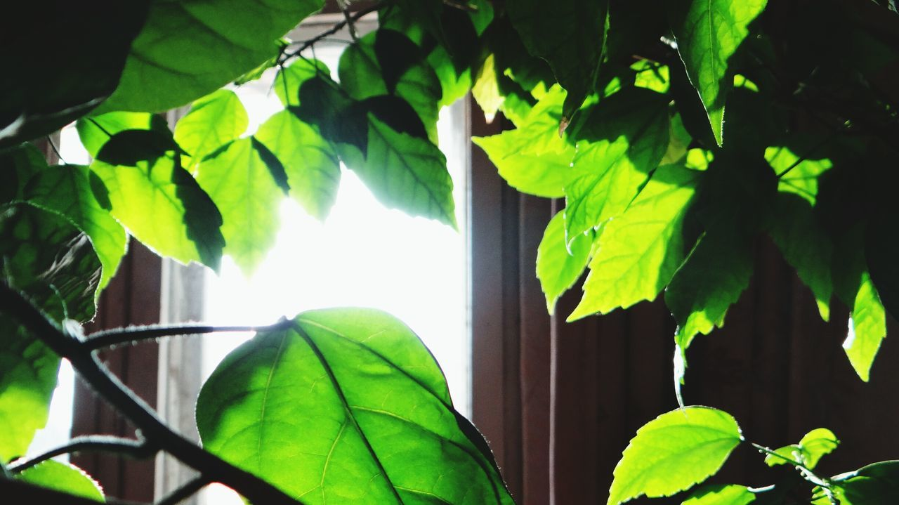 Leaf Growth Nature Green Color Plant No People Close-up Tree Freshness Beauty In Nature Day Branch Outdoors Sunbeam Low Angle View House Ivy Indoors  Freshness Tree Beauty In Nature Green Color Growth Nature Plant