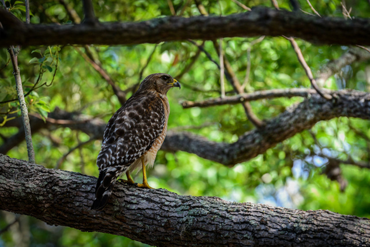 Hawk Guarding Nest Animals In The Wild Bird Branch Focus On Foreground Hawk, Hawk Perched, Hawk In Tree Nature One Animal Outdoors Perching Tree