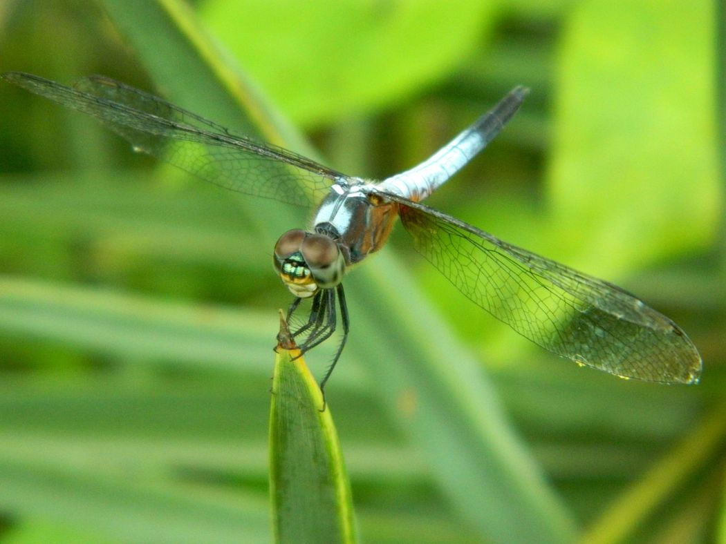 Low Angle Shot of Blue Dasher Dragonfly Landing on Stem. (Res: 4320*3240, NikonCoolPixL120) Beauty In Nature Blue Dasher Dragonf Dragonfly Dragonfly Dragonfly Series Dragonfly_of_the_day Dragonflywings Grasp Green Color Insect Insect Paparazzi Insect Photography Insect_perfection Macro_collection Macro_perfection Pastel Colors Pastel Power Blue Wave Selective Focus Soft Wildlife Wing Pattern Zoology 43 Golden Moments In Jessore, Bangladesh