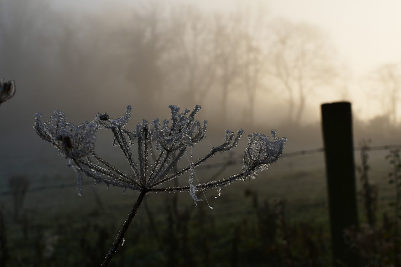 Foggy day.. Beauty In Nature Close-up Cold Temperature Day Dream States Ethereal Flower Focus On Foreground Fog Foggy Foggy Weather Fragility Growth Nature No People Outdoors Plant Silhouette Silhouette_collection Sky Softness Sunset Tree