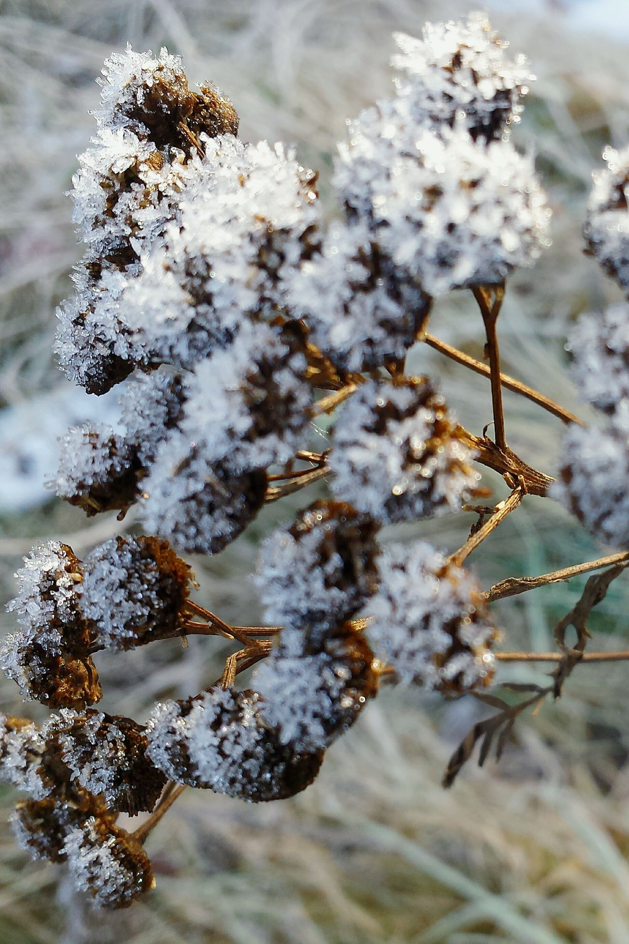 Nature Beauty In Nature Close-up Outdoors Growth Day No People Macro Beauty Cold Temperature Winter Focus On Details left, Ladyphotographerofthemonth Iced Rauhreif Ice Crystals Eiskristalle Ice Capped Sugar Like Macro Fragility Beauty In Nature Nature Macro Nature Freshness Grasses Are Beautiful Too