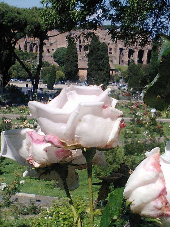 Nofilters Roses🌹 Roses Garden Of Rome From Rome With Love ❤ Rome Italy