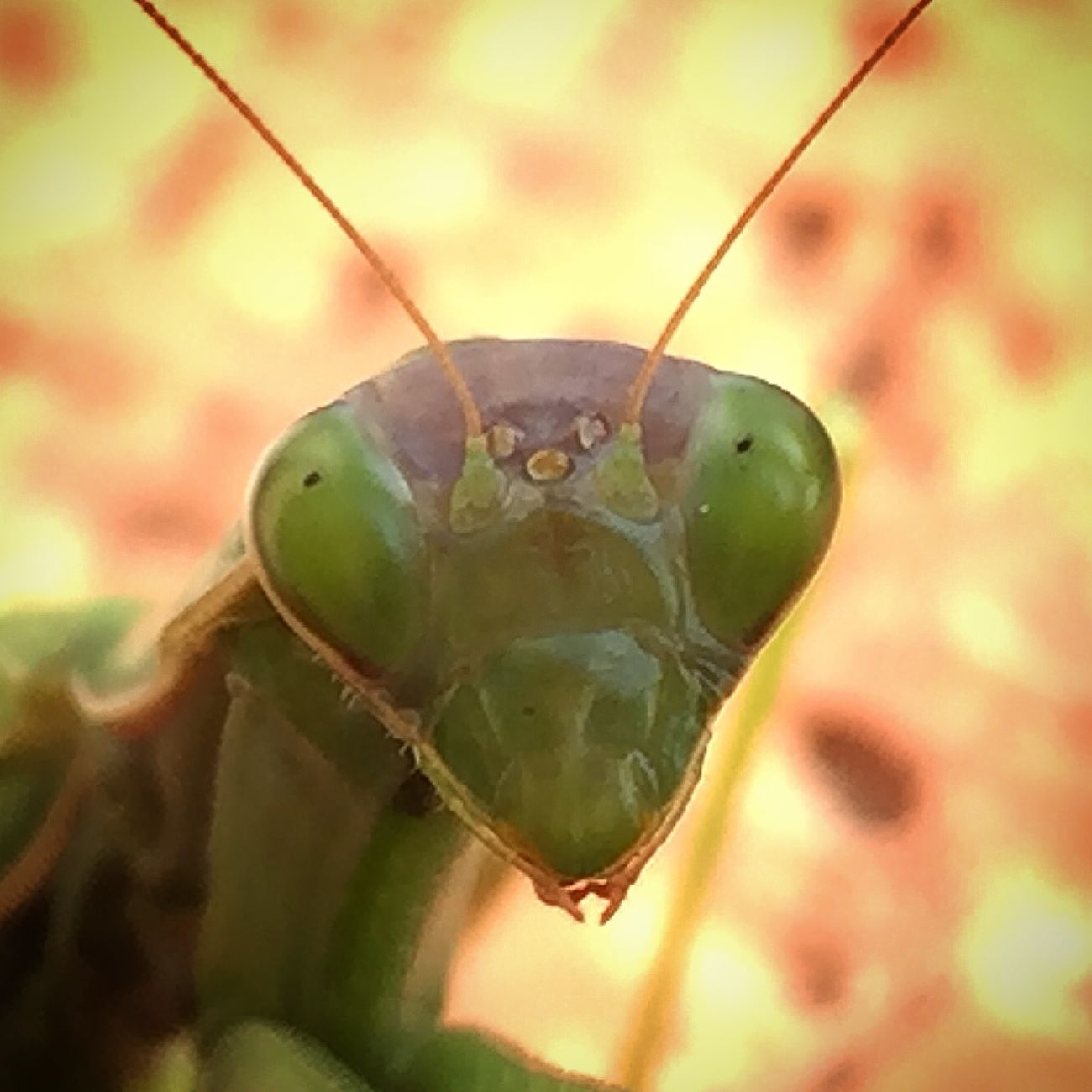 Beautiful Nature Naturephotography EyeEm Nature Lover Animal Photography Animal Portrait EyeEm Animal Lover Animallovers Mantis Preying Mantis Collection Preying Mantis
