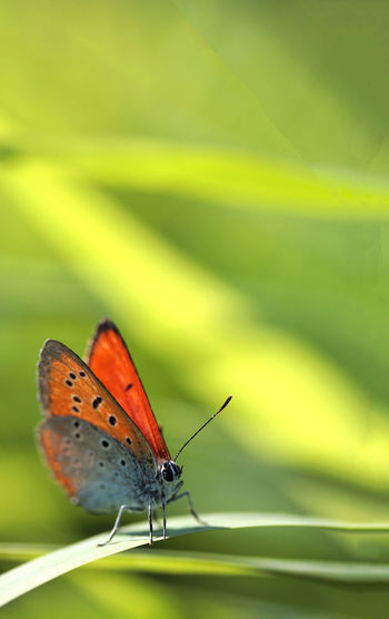 Male large copper Large Copper Lycaena Dispar Red Book Wetland Animal Wildlife Animals In The Wild Beauty In Nature Butterfly Butterfly - Insect Close-up Day Entomology Fragility Green Color Insect Leaf Lepidoptera Male Nature No People One Animal Outdoors Plant Rare Spread Wings