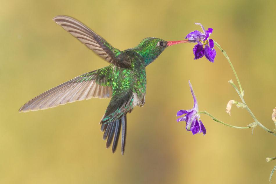 Beautiful stock photos of kolibri,  Animal Themes,  Animals In The Wild,  Beak,  Beauty In Nature