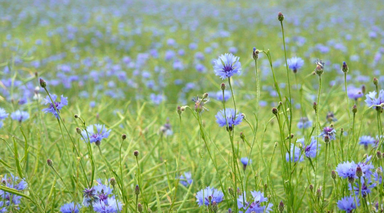 Flower Cornflower One Animal Cornflowers Beauty In Nature BlueBottle Outdoors Blooming Bachelor Buttons Summer Fields Garden Cornflower Cornfield Summer Meadow Summer Fields Of Green Field Animals In The Wild Freshness Close-up Temptation Wheat Field No People Insect Fragility Grass Plant