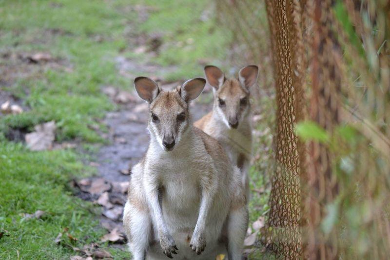 Australia Caversham Wildlife Park Perth Animal Themes Animal Wildlife Australia & Travel Looking At Camera Marsupial Nature No People Wallaby