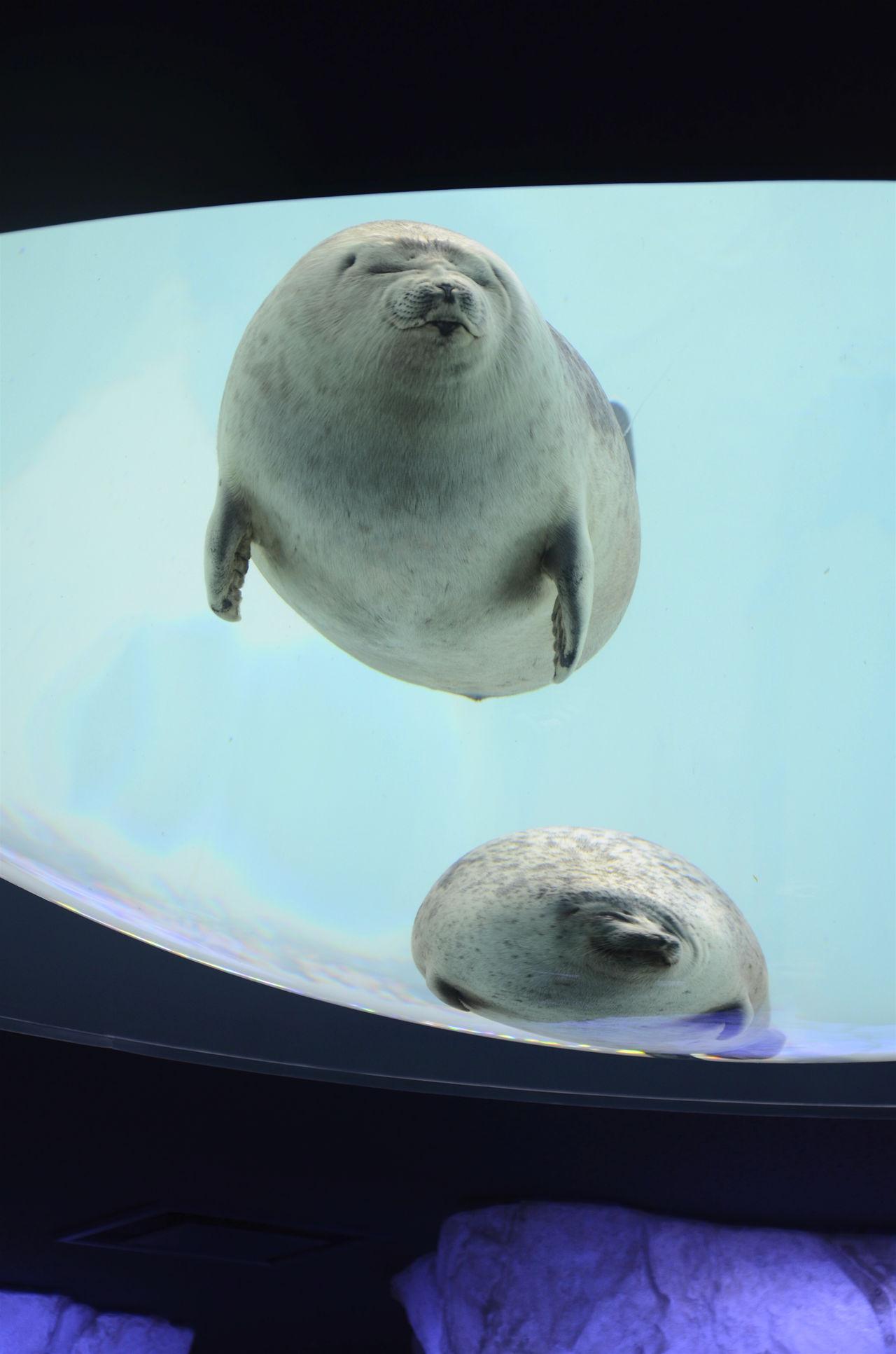 Animal Head  Aquarium Blue Fat Animal Funny Faces No People Sea Life Sea Lion Natures Diversities Osaka,Japan The Ultimate Japan