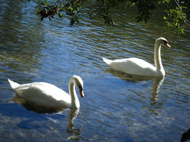 Swans Swimming Water Swan Birds River Blue Green