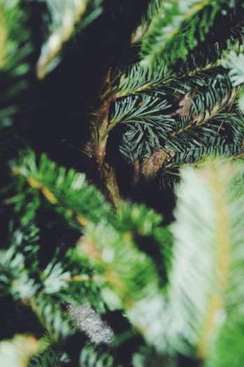 It's been awhile... I hope to start posing more often Happy Days Fresh Start 2018 Christmas Tree Green Color Beauty In Nature Christmas Day Plant