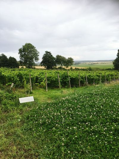 Wineyard Sweden