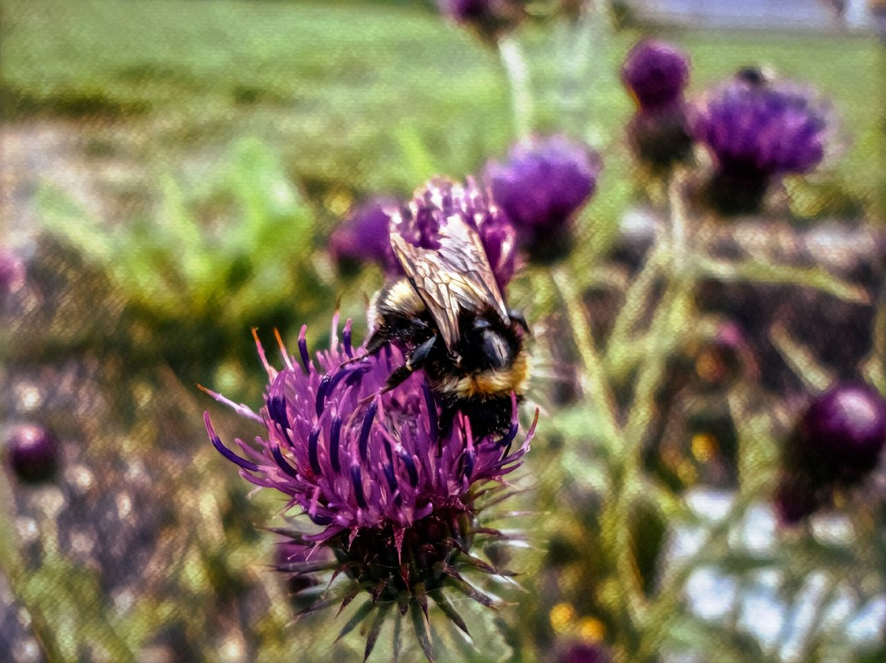 Bee on Thistle Purple Flower Nature Beauty In Nature Capture The MomentClose-up Outdoors No People Walking Around Landscape Taking Photos Selective Focus Relaxing Nature_collection Nature I ♥ Photography Hello World Hanging Out First Eyeem Photo EyeEm Best Shots EyeEm Best Edits Eye4photography  Exceptional Photographs Enjoying Life Check This Out