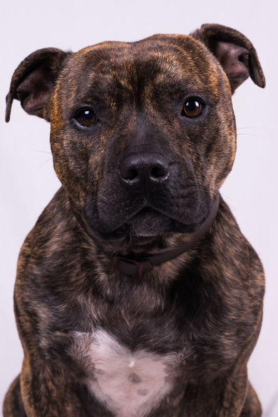Cody Loving Staffordshire Animal Themes Close-up Dog Domestic Animals Gentle Mammal Mansbestfriend No People One Animal Pets Portrait Staffordshire Bull Terrier Staffy Studio Shot White Background
