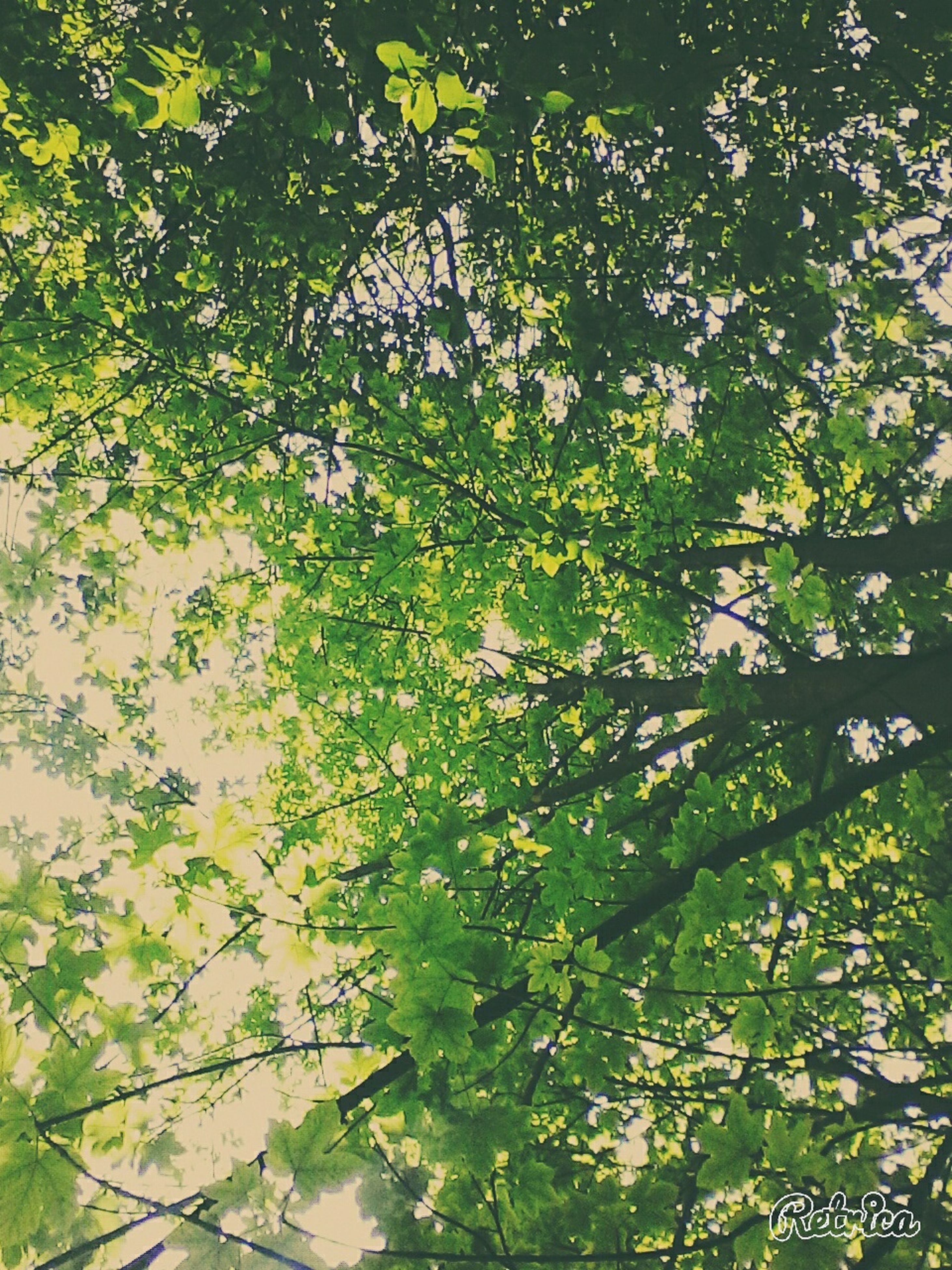 growth, tree, branch, leaf, nature, green color, beauty in nature, low angle view, plant, tranquility, day, outdoors, full frame, no people, backgrounds, freshness, growing, lush foliage, green, sunlight