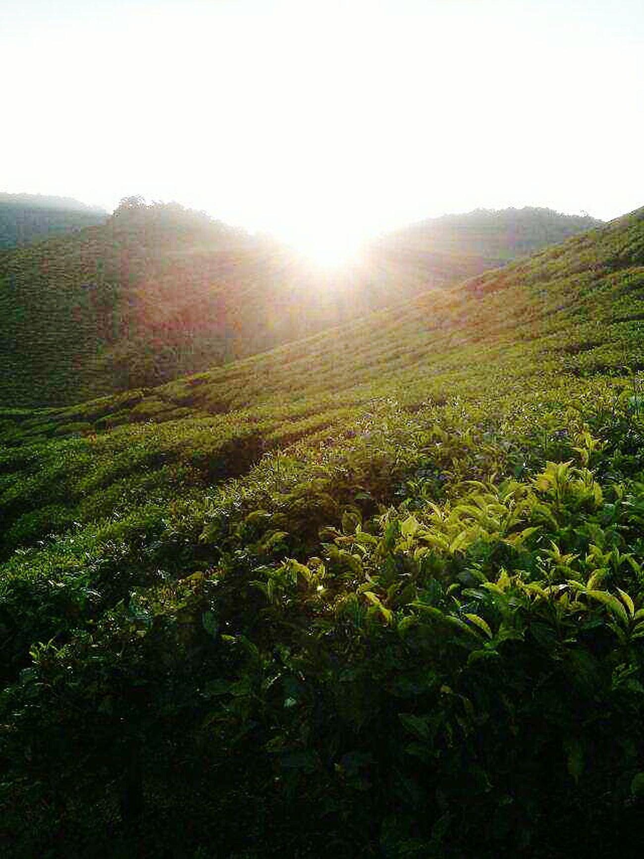 Tea farm 🍵