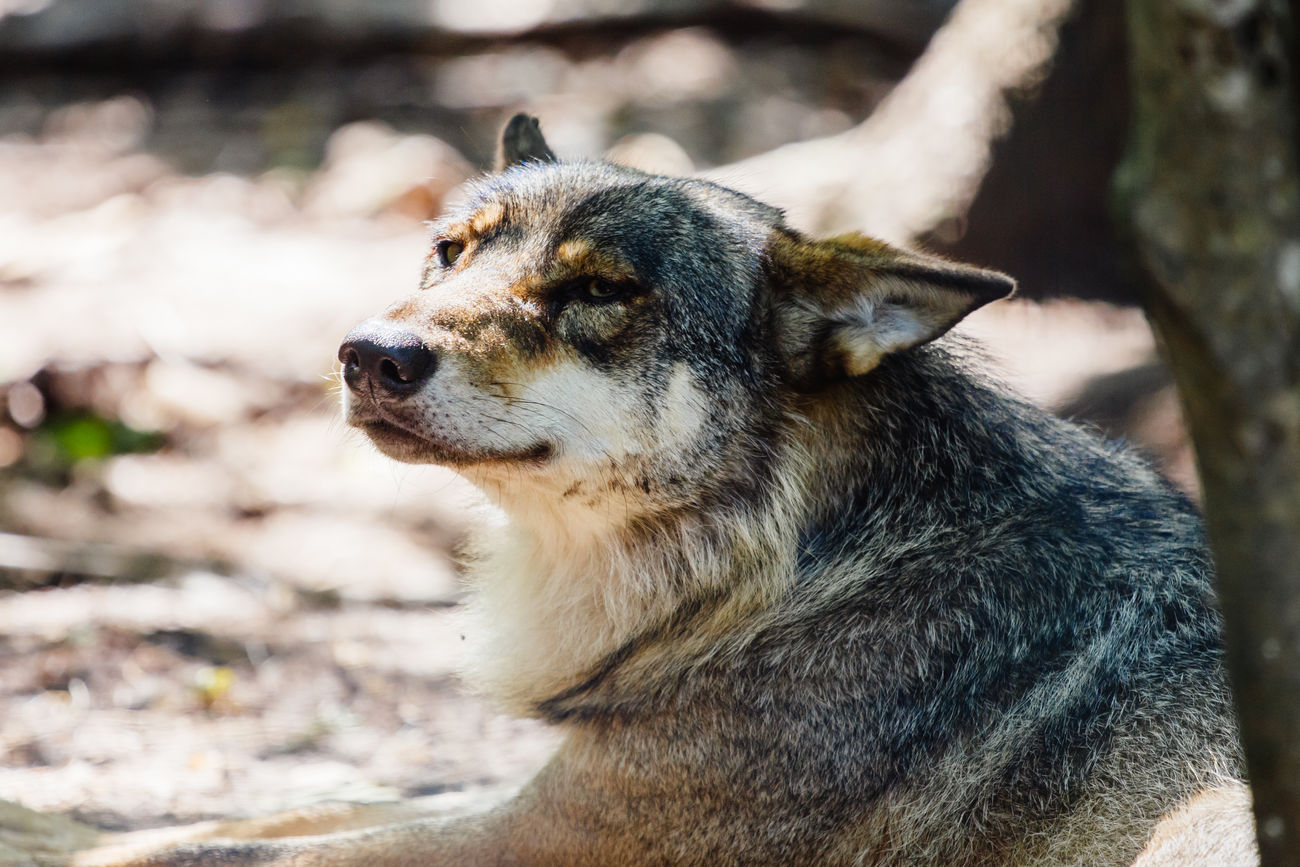 Beautiful stock photos of wolf, Animal Themes, Animal Wildlife, Animals In The Wild, Close-Up