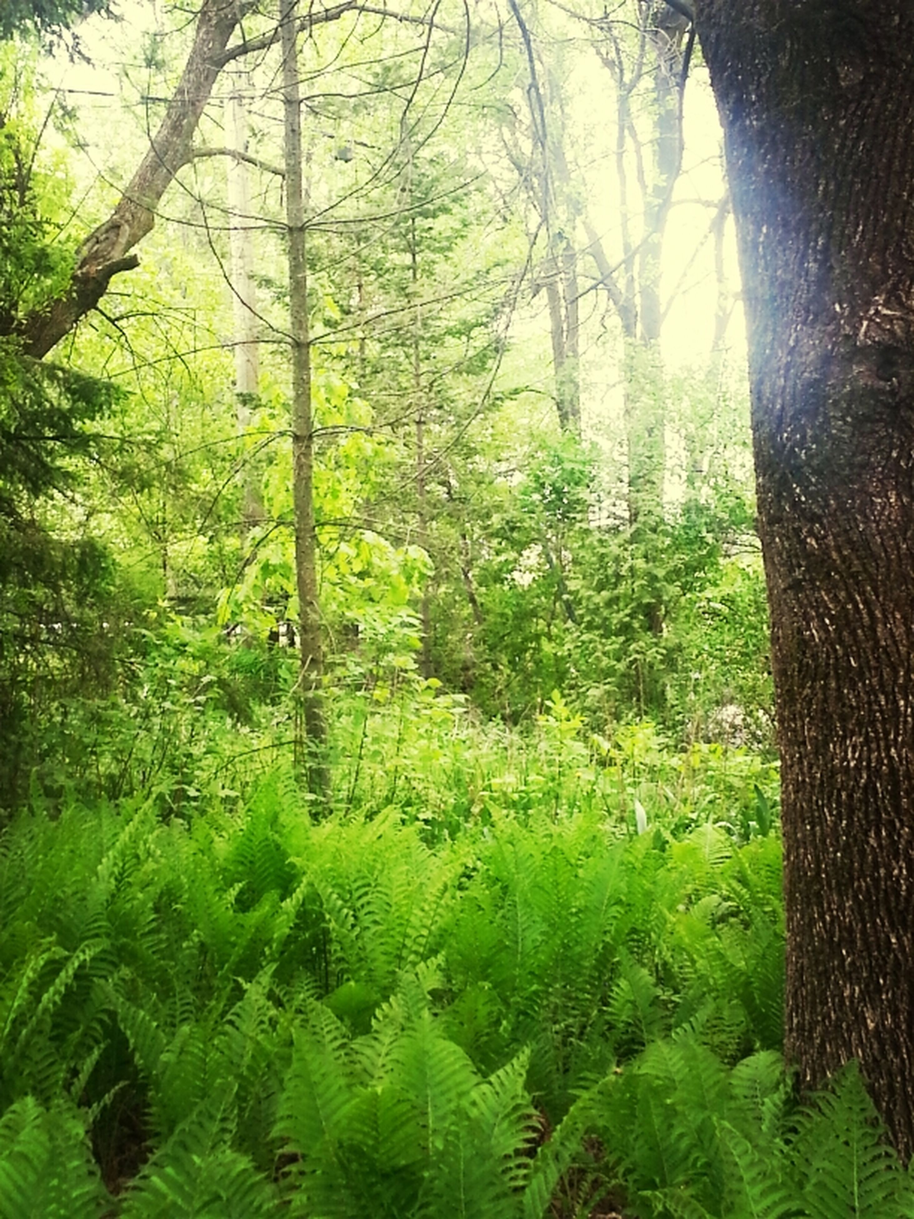 tree, growth, forest, tranquility, green color, tree trunk, sunlight, sunbeam, sun, nature, tranquil scene, beauty in nature, lens flare, woodland, scenics, branch, lush foliage, plant, day, leaf