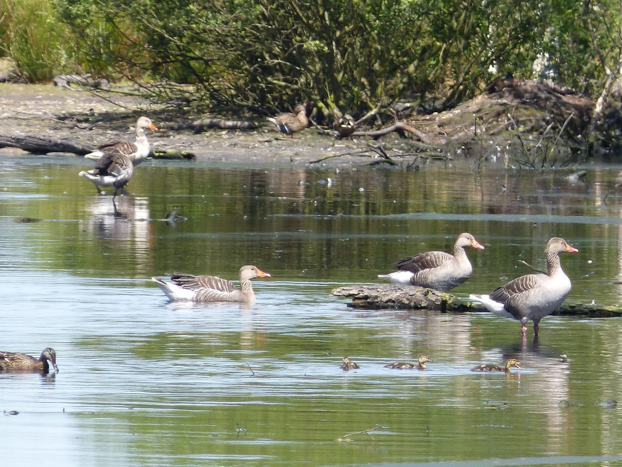 animals in the wild, animal themes, bird, water, lake, animal wildlife, reflection, waterfront, nature, swimming, young bird, day, goose, water bird, no people, outdoors, beauty in nature