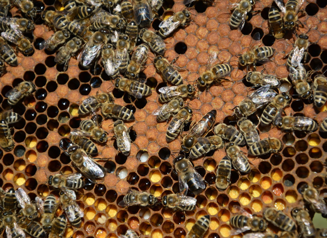 Animal Themes Animal Wildlife Animals In The Wild APIculture Bee Bee Queen Beehive Close-up Day Full Frame Honey Bee Honeycomb Insect Large Group Of Animals Nature No People Outdoors