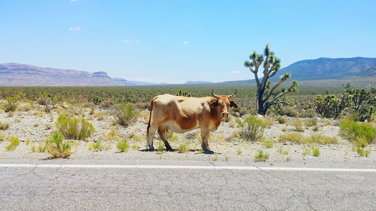 he made me late this morning... Rogue Cow Morning Drive Mobile_photographer Joshua Tree National Park Eyem Nature Android Photography LG G3 Photography Ladyphotographerofthemonth The Great Outdoors With Adobe The Great Outdoors - 2016 EyeEm Awards