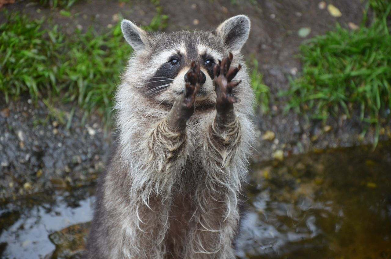 Beautiful stock photos of raccoon,  Animal Hair,  Animal Themes,  Animal Wildlife,  Animals Behavior