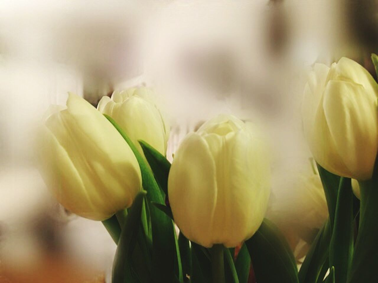 Spring Will Come Flower Freshness Fragility Beauty In Nature Nature Petal Close-up Flower Head Growth Plant No People Blooming Day Outdoors Tulip Tulpe Weiss Weiße Blumen🌱 Indoors  Beauty In Nature Blumen Flowers EyeEmFlower Eyeemflowerlover