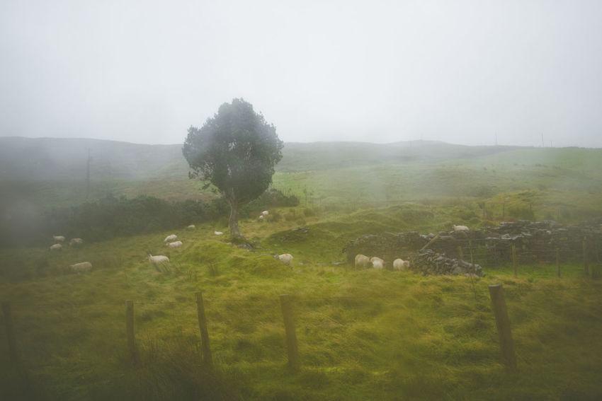 Beauty In Nature Connemara Day Flock Of Sheep Fog Foggy Galway Grass Grazing Ireland Landscape Mammal Mountain Nature No People Outdoors Rain Scenics Sheep Sheep🐑 Sky Steam Tranquil Scene Tree