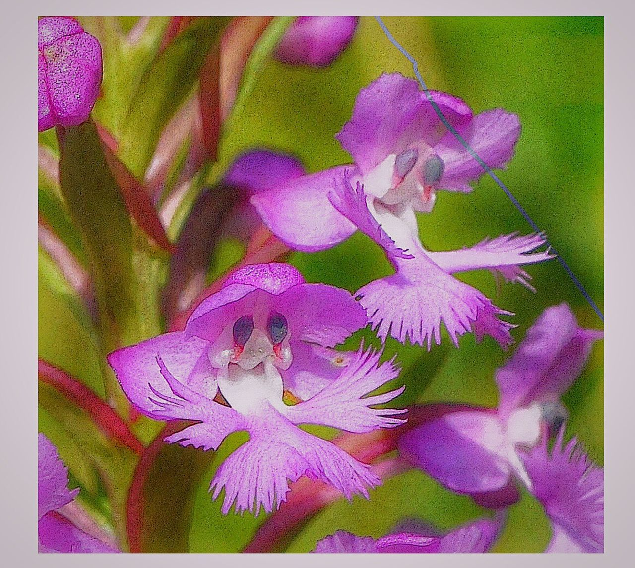 """""""Old Man Orchid"""". Because orchid flowers are bilaterally symmetric, symmetric in only one plane, it is easy for the human eye to conjure up all sorts of resemblances to other creatures. Here the flowers if the Lesser Purple Fringed Orchid (Platantheta psycodes) looks remarkably like the face of an old man. Check This Out Taking Photos Enjoying Life Botanizing Orchids Platanthera Orchid Blossoms IPhoneography The Great Outdoors - 2016 EyeEm Awards Natural Beauty Nature Nature_collection Nature Photography Iphonephotography Malephotographerofthemonth Wildflowers In Bloom Wildflowers Showcase June This Week On Eyeem Pink Flower Pink Flowers Great Smoky Mountains  From My Point Of View Mount Mitchell"""