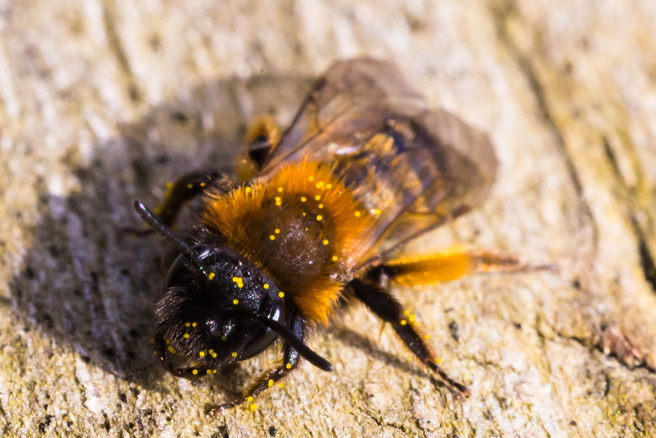 one animal, animal themes, animals in the wild, insect, animal wildlife, outdoors, close-up, day, no people, nature, full length, bee